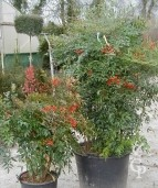 Nandina  Group
