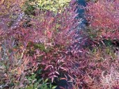 Nandina Domestica Colour