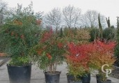Nandina Various Sizes