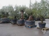 Olea Europea  Selection