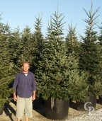 Abies Nordmanianna 240L