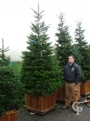 Abies Nordmanianna