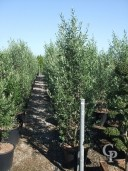 Olea Europea Feathered 70l