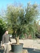 Olea Europea Specimen 450l Extra