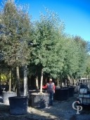 Acacia Dealbata 35-40