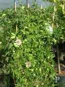 Passiflora 'Constance' Elliot'  Espalier  1,25