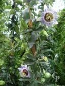 Passiflora Caerulea   2,00  10l
