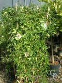 Passiflora Espalier 35l