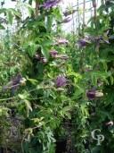 Passiflora Violacea 2,00  10l