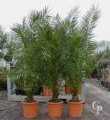 Phoenix Canariensis   1,50-1,75