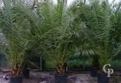 Phoenix Canariensis  2,50+ 90l
