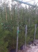 Acacia Longifolia 2,00 10L