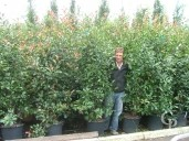 Photinia X Fras 'Red Robin' 2,00 35l Extra