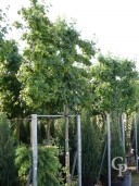 Acer Campestre 14-16 PLeached  70L