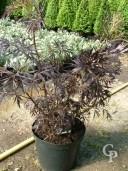 Sambucus nigra 'Black Lace'