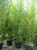 Phyllostachys 'Bissettii' 2,00 18l