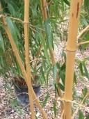 Phyllostachys Aureosulcata 'Aureocaulis'   2,00  18l