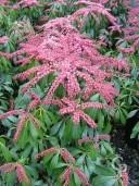 Pieris 'Katsura' Flower