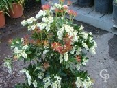 Pieris Jap 'Forest Flame'