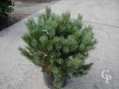 Pinus 10l