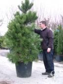 Pinus Aus Nigra 2,20+ 90l