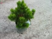 Pinus Leuc 'Compact Gem'  10l