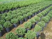 Pinus Mugo 'Mughus'   10l