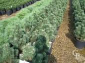 Pinus Mugo 'Sherwood Compact'   10l