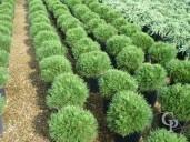 Pinus Mugo 'Varella'   10l