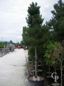 Pinus Nigra 'Austriacea'  20-25