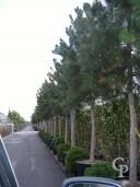 Pinus Nigra 'Austriacea' Std