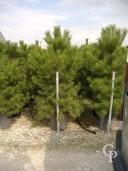 Pinus Nigra 'Austriacea'