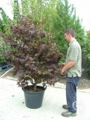 Acer Palm 'Bloodgood' 1,75-2,00  50L