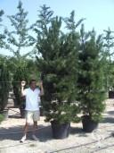 Pinus Nigra 'Maritima'
