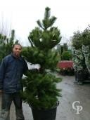 Pinus Nigra Austricea 2,00+ 110l