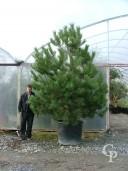 Pinus Nigra Austricea 3,00+ 140l