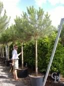 Pinus Pinea  Std