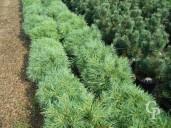 Pinus Strobus 'Minima'   10l