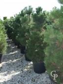 Pinus Sylvestris Feathered