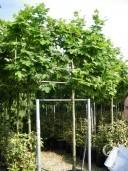 Platanus Acerfolia   Pleached  14 16 70l