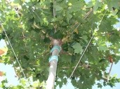 Platanus Acerfolia