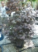 Acer Palm 'Bloodgood' 1,752,00 50L