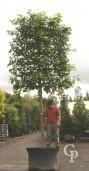 Platanus Acerifolia  Pleached  35-40  300l