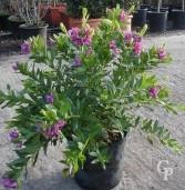 Polygaga Myrtifolia  4 5l