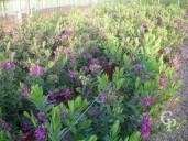 Polygala Myrtifolia   4 5l