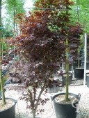Acer Palm 'Bloodgood'