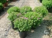 Polygala Myrtifolia Compact