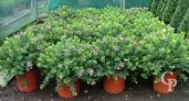 Polygala Myrtifolia Extra 15l