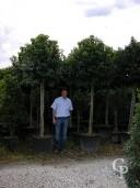 Prunus lusitanica standard