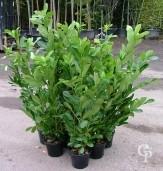 Prunus 5l Extra